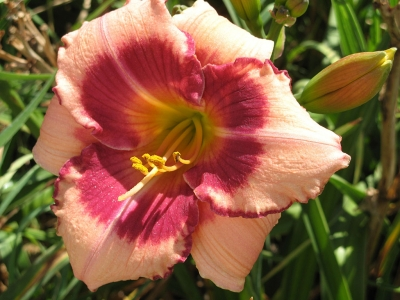 """Daylily variety developed at Greenwood Daylily Gardens"" photograph taken by John Schoustra, owner."