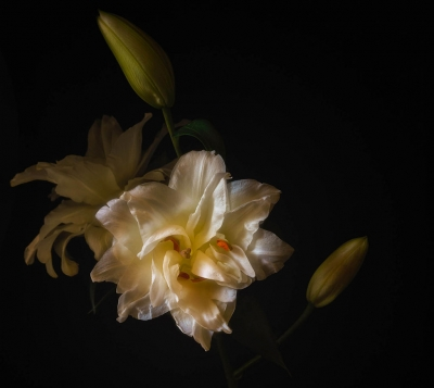 White Lily by Photographer Susannah Sofaer Kramer