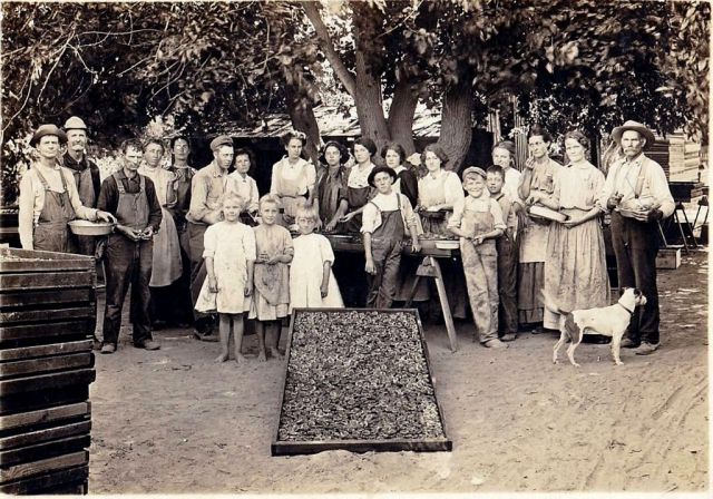 Apricot drying at E.B. Turner Ranch, Sespe. Photos courtesy Fillmore Historical Museum.