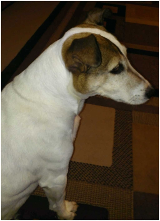 FOUND DOG – Jack Russel Terrier on Thursday 12/17/2015. Contact: Addie @ 805/524-7297 or 805/302-3587