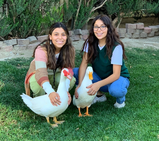 "American Pekin ducks (l-r) Pogo and Biggie enjoy hanging out in their Fillmore front yard with sisters Aliyah, 17, and Lupita, 14. The ducks are 6 months old and have been with the girls since they were 5 weeks old. The girls' mother described the sisters as ""good duck parents"". The Pekin or White Pekin is an American breed of domestic duck, raised primarily for meat, but don't tell Pogo and Biggie. It is a mallard derived from birds brought to the United States from China in the 19th century, and is now bred in many parts of the world."