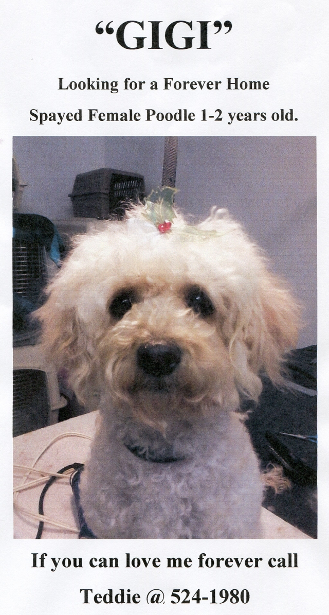Female Poodle, 1-2 years old, white/apricot color. Weight 10.4 pounds. Spayed with shots. Loves to play and fetch but her playfulness may scare a cat. Gets along well with other dogs. Friendly but skeptical of strangers. Loves being indoors, but will play outdoors, too.