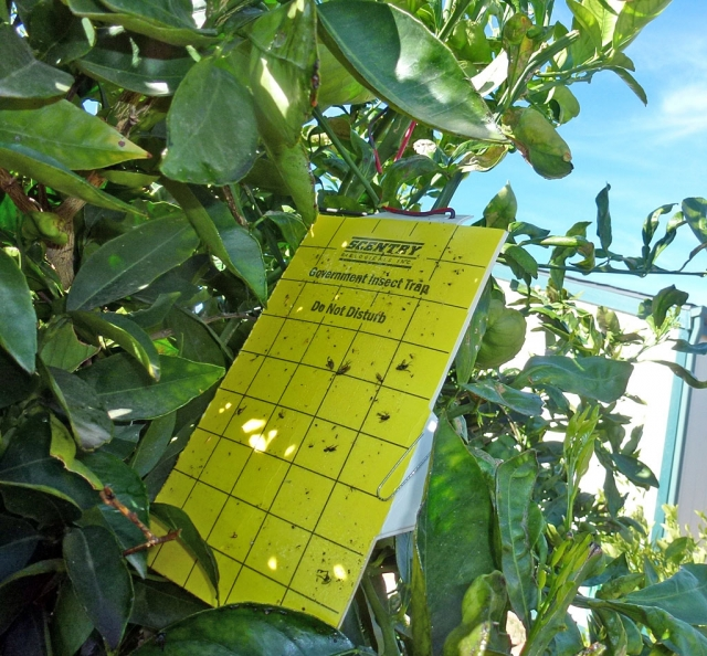 A glueboard in a local citrus tree.