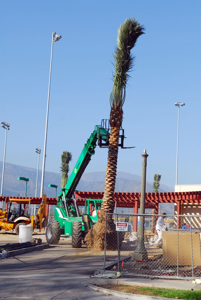The new Fillmore swimming pool complex received about a dozen Palm Trees, Monday. They encircle the pool area. The complex is due to open in January and will include two tennis courts, large swimming pool, office and dressing rooms, and a play area for younger children.