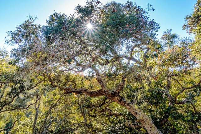 "Photo of the Week: ""An oak, some lichen, Spanish moss and a sunstar. Ah!"" by Bob Crum. Photo data: Canon 7DMKII camera with Tamron 16-300mm lens @16mm, no filters. Exposure; ISO 1,000, aperture f/22, shutter speed 1/100 second."