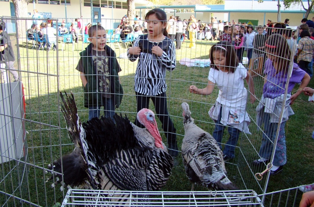 Third grade students at San Cayetano host their yearly celebration of Plymouth Plantation for the whole school. Students rotate through various activities from that time period. The turkeys pictured (with San Cayetano students) come back to visit us each year for the Plantation event. They are owned by Timmy Klittich and family.