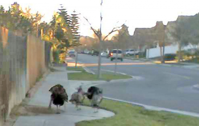 Fillmore resident Joe Diaz was on his way to work Tuesday morning at 7:30 a.m. when he spotted this flock of turkeys on River Street looking for an early morning snack.