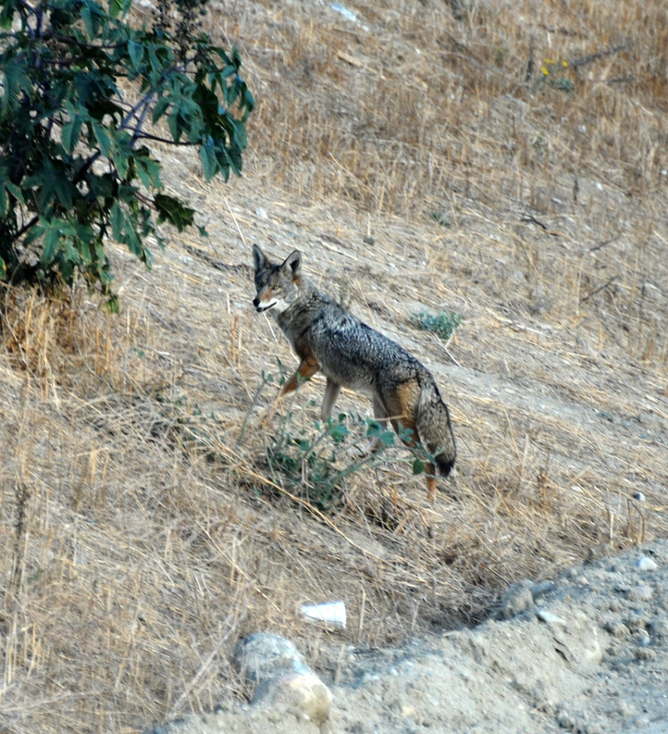 (Publisher's note) While parked on the southern side of the new bridge to take some photos, Wile E. Coyote trotted past in front of me, across the new road and down the railroad tracks, headed east. She looked to be in great condition. We in Fillmore sometimes forget we're located in a wild animal habitat. It's good to know - but keep your cats and dogs in a safe enclosure, Wile E. has to eat too.
