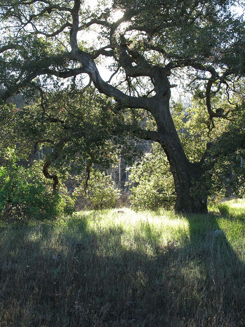 Oak by Myrna Cambianica, Ojai Valley Museum.