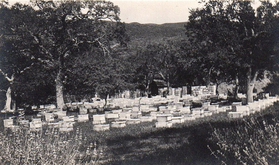 Young family bees on Oak Flat in 1916.