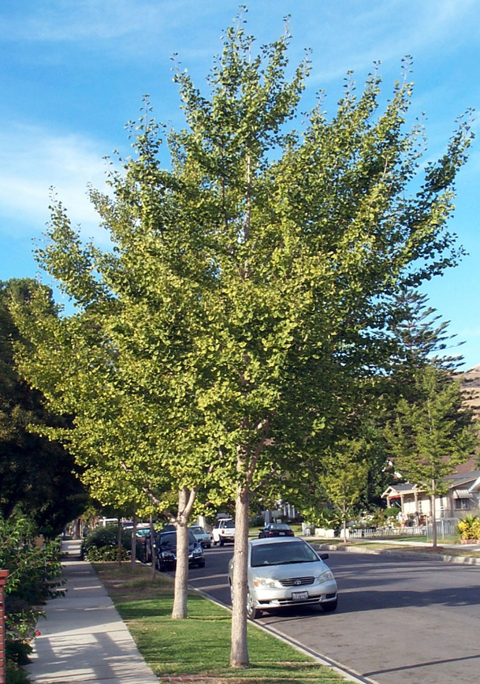 Ancient Ginkgo Trees Have Survived The Test Of Time The Fillmore