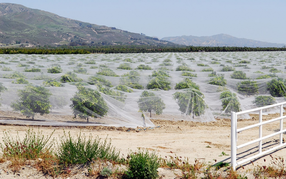 Shown is a large net-covered citrus orchard on Highway 23. The netting is meant to keep bees from pollinating seedless orange/tangerine trees. At issue are beekeepers who prize orange blossom honey and citrus growers who blame the bees for causing otherwise seedless citrus fruit to develop pips.